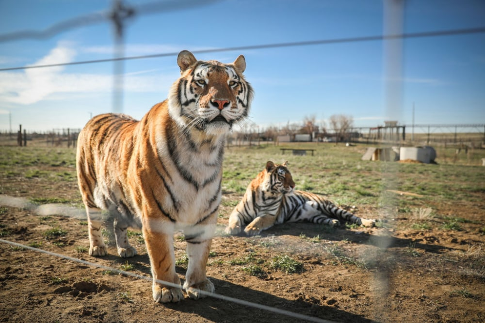 KEENESBURG, CO - APRIL 05: A pair of the 39 tigers rescued in 2017 from Joe Exotic's G.W. Exotic Animal Park relax at the Wild Animal Sanctuary on April 5, 2020 in Keenesburg, Colorado. Exotic, star of the wildly successful Netflix docu-series Tiger King, is currently in prison for a murder-for-hire plot and surrendered some of his animals to the Wild Animal Sanctuary. The Sanctuary cares for some 550 animals on two expansive reserves in Colorado. (Photo by Marc Piscotty/Getty Images)