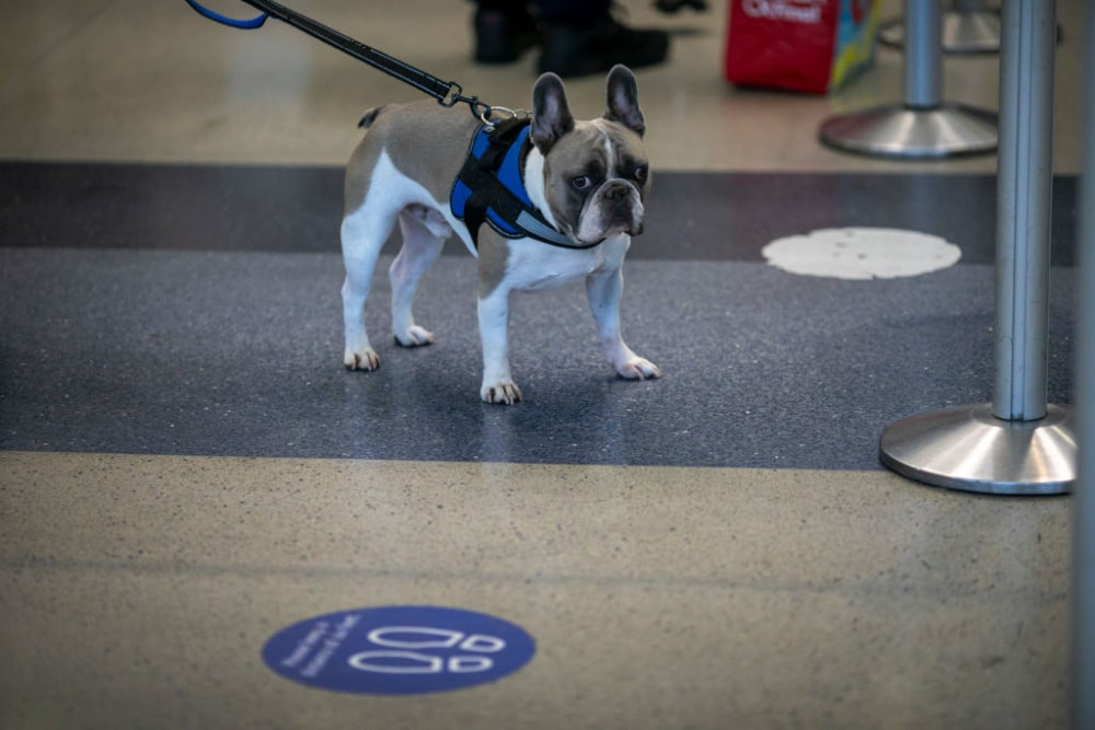A dog stands in an airport on a leash