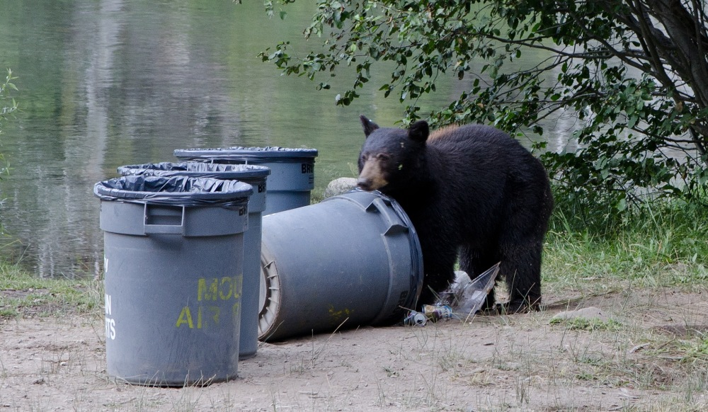 A hungry young Black bear rummaging through trash cans along the river bank looking for food.