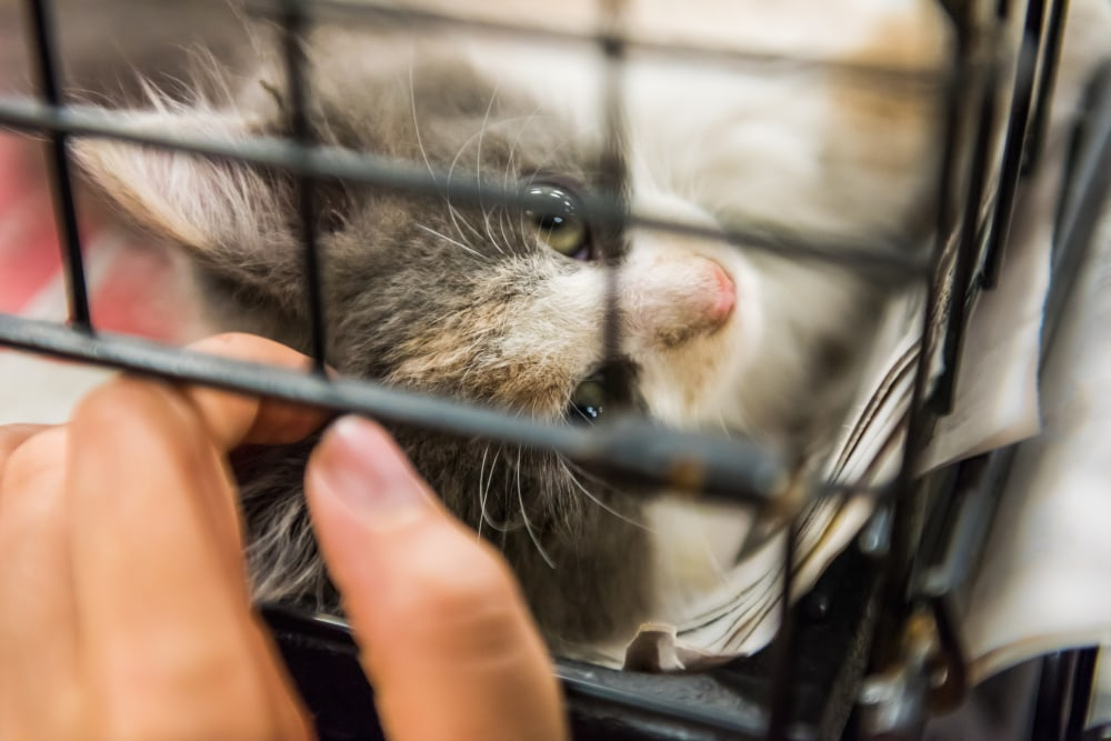 Grey and white calico kitten playing in cage waiting for adoption