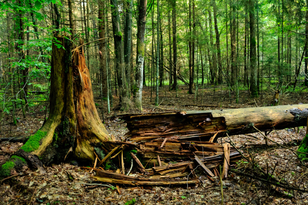 """A naturally fallen decaying large tree. A shattered tree trunk can be seen in the foreground and a mixed forest in the background. The Bialowieza Forest is Europe's last primeval lowland forest that once covered entire northeastern Europe. This old-growth virgin forest, home to the European bison, was protected for centuries. It was devastated in 2017 by illegal large-scale logging with use of heavy equipment ordered by the Polish government. The Bialowieza Forest is a Special Area of Conservation of the EU Natura 2000 network of nature protection areas. The Bialowieza Forest National Park is a UNESCO World Heritage Site of Outstanding Universal Value (inscribed in 1979 and later extended as """"Bialowieza Forest, Belarus, Poland"""")."""