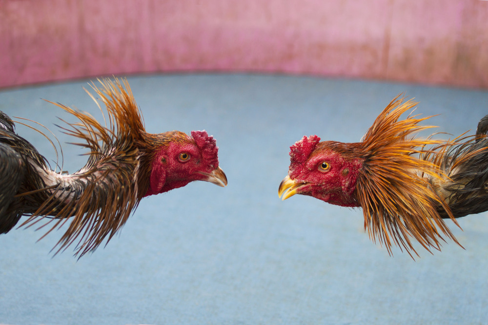 Cockfighting is legal in Thailand. Unlike some countries, Thai cockfighting does not use artificial spurs to increase injury and does not employ the fight to the death rule. Thai birds live to fight another day and are retired after two years of competing.